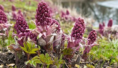 butterbur side effects liver damage